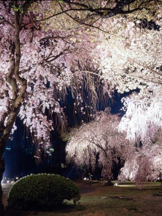 元離宮二条城の桜写真1