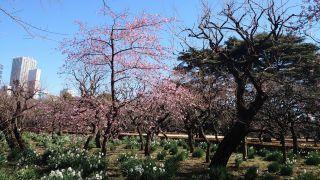 レストランゆりのき前の河津桜