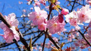 河津桜をアップで