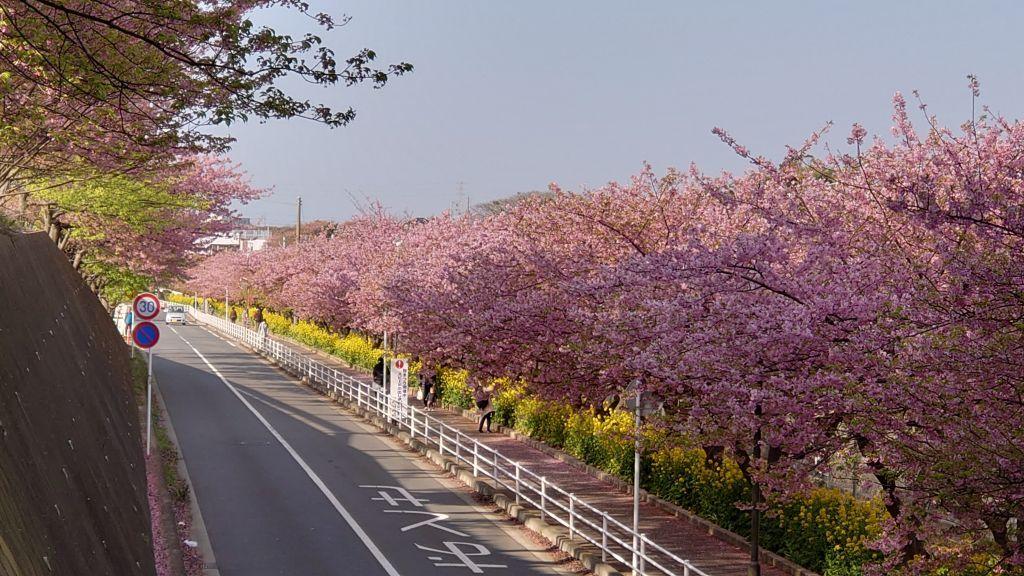 まつり 三浦 海岸 桜 三浦海岸の河津桜2021!見頃や開花は?桜まつりやライトアップは?