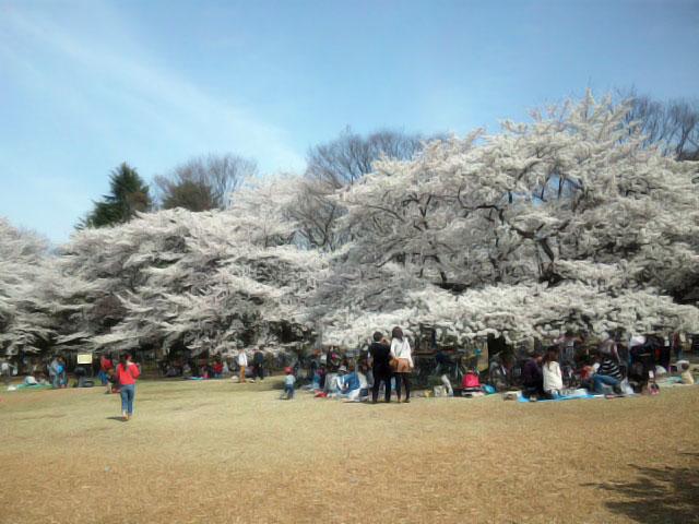 光が丘公園の桜 花見特集2017