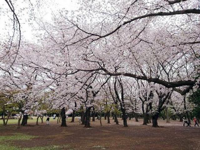 光が丘公園の桜の投稿写真 花見特集2019