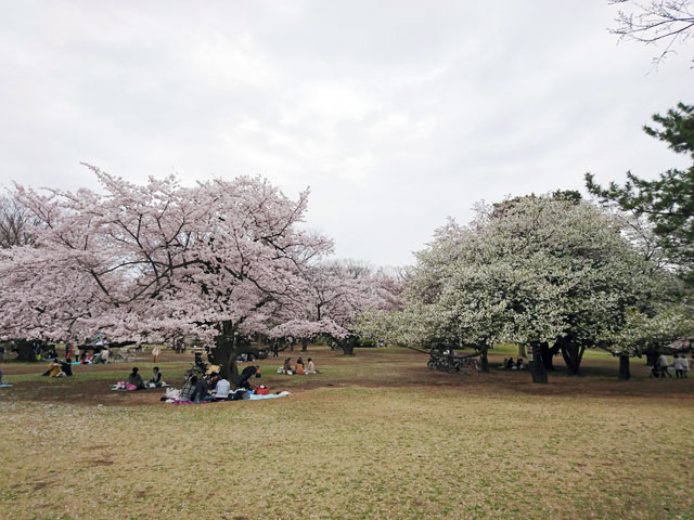光が丘公園の桜 花見特集2019