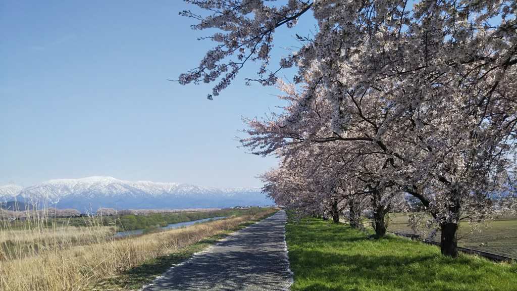 加治川堤桜