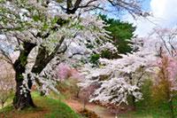 猪苗代城(亀ヶ城公園)の桜