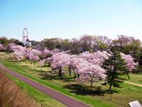 狭山公園の桜