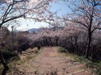 賤機山公園の桜