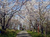日笠山の桜