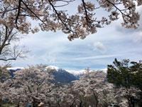 大町公園の桜の写真