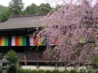 湖東三山 金剛輪寺の桜の写真