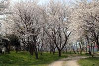 峯空園の桜