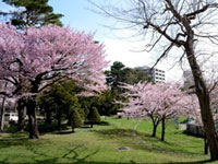The Cherry Blossoms of Maruyama Park