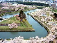 The Cherry Blossoms of Goryokaku Park