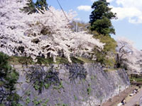 The Cherry Blossoms of Morioka Castle Site Park (Iwate Park)