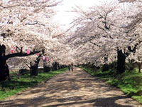 The Cherry Blossoms of Kitakami Tenshochi