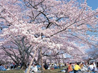 The Cherry Blossoms of Tsutsujigaoka Park