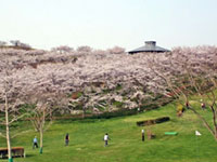 Thousands of Cherry Blossoms in Mt. Kagoboyama