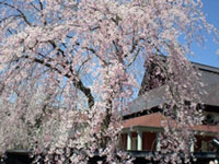 The Weeping Cherry Blossoms of Kakunodate