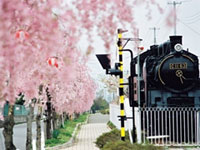The Cherry Blossoms of Nitchusen Kinen Jitensha Hokoshado (Bike and walking Path)