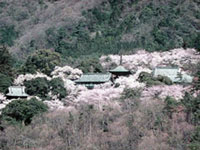The Cherry Blossoms of Amabiki Kannon