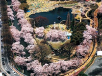 The Cherry Blossoms of Maebashi Park
