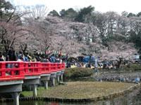 岩槻城址公園の桜