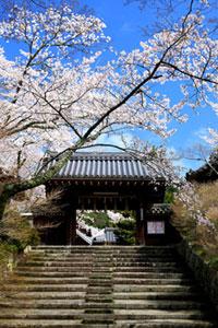 京都山科 毘沙門堂の桜