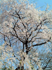 The Cherry Blossoms of Shimizu Park