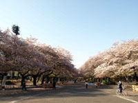 The Cherry Blossoms of Ueno Park
