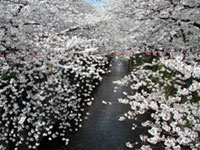 The Cherry Blossoms of Meguro River