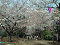The Cherry Blossoms of Asukayama Park