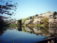 The Cherry Blossoms of Mitsuike Park