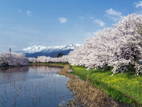 The Cherry Blossoms of Takada Park