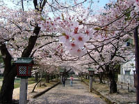 The Cherry Blossoms of Yahiko Park