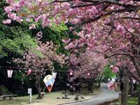 倶利伽羅県定公園の桜の写真