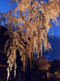 The Weeping Cherry Blossoms of Kitake