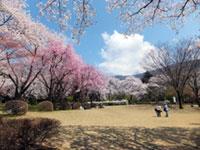 石川県農林総合研究センター 林業試験場 樹木公園の桜の写真