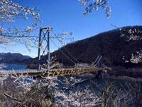 九頭竜万本さくらの桜の写真