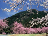 The Weeping Cherry Blossoms of Takeda Area