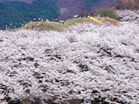 The Cherry Blossoms of Kobo Ancient Tomb