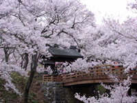 The Cherry Blossoms of Takato Castle Ruins Park