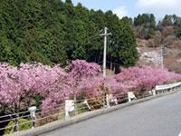 延暦寺・比叡山ドライブウェイ・奥比叡ドライブウェイの桜の写真