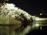 The Cherry Blossoms of Hikone Castle