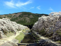 The Cherry Blossoms of Ugui River