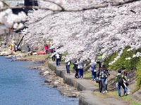 The Cherry Blossoms of Kaizuosaki