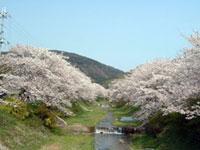 玉川堤の桜