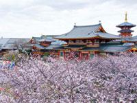 念法眞教 金剛寺の桜