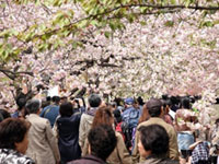 The Cherry Blossoms of Zoheikyoku Cherry Blossom Boulevard