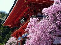 勝尾寺の桜の写真