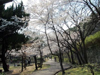 The Cherry Blossoms of Sumaura Park